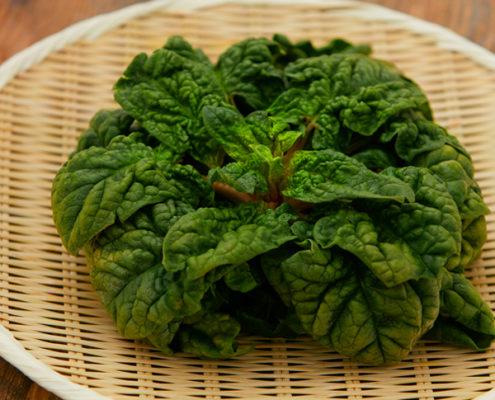 茨城県 つくば野菜 ちぢみほうれん草