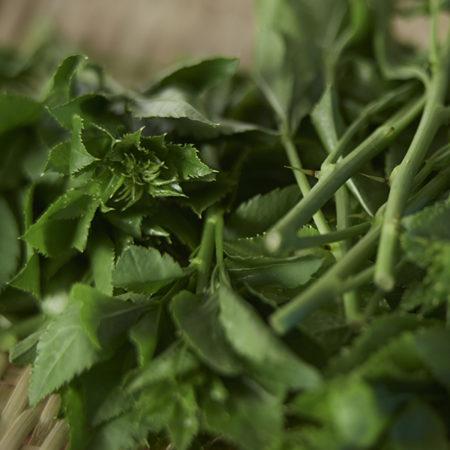山形県産 置賜地区の伝統野菜 うこぎ